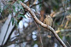 Honeyeater australiano do ` s do lewin Foto de Stock