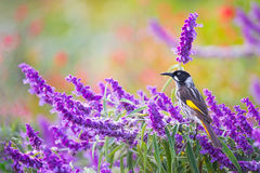 Honeyeater Bird With Purple Spring Fowers royalty free stock images