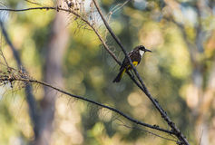 Honeyeater on a branch Royalty Free Stock Photography