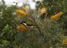 Honeyeater enfrentado azul que deleita-se em grevillias de florescência Imagem de Stock