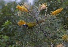 Honeyeater fait face bleu se régalant des grevillias fleurissants Image stock