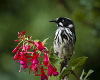 Honeyeater perching. New Holland Honeyeater perching on flowers Stock Image