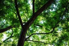 Honeylocust树 免版税图库摄影