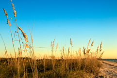Honeymoon Island Sea Oats Stock Images