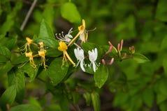 Honeysuckel selvaggio, oro, bianco e germogli porpora Fotografia Stock Libera da Diritti