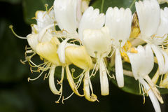 Honeysuckle. Also known as woodbine (Lonicera royalty free stock images