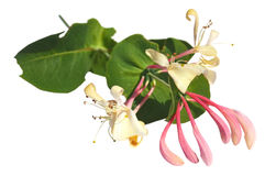 Honeysuckle. Branch of a blossoming honeysuckle isolated on a white background royalty free stock photos