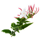 Honeysuckle. Pink and white floral isolated on white Stock Photo