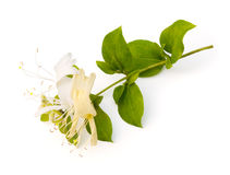 Honeysuckle. Flower (Lonicera japonica) on a white background stock images