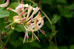 Honeysuckle. Sweet honeysuckle blooms on vine stock photos