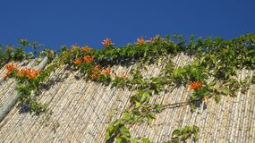 Honeysuckle on bamboo fence in December sunshine. Closeup of Cluster of orange honeysucckle on bamboo fence in Andalusian village of Alora, Spain Royalty Free Stock Photography