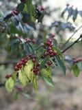 Honeysuckle Berries Stock Afbeeldingen