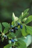 Honeysuckle Berries matura su Bush Fotografia Stock
