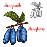Honeysuckle vector sketch berry icon. Honeysuckle berry sketch icon. Vector isolated symbol of fresh farm grown honeyberry fruit on branch for juice and jam vector illustration