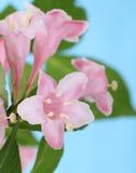 Honeysuckle Blooms Royalty Free Stock Photos