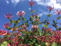 Honeysuckle in blue sky. In a Gloucester garden Stock Photos