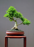 Honeysuckle bonsai Stock Images