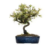Honeysuckle bonsai tree, Lonicera caprifolium, isolated Stock Images