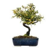 Honeysuckle bonsai tree, Lonicera caprifolium, isolated Royalty Free Stock Image