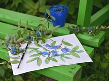 Honeysuckle branch with berries and leaves, paper with drawing of honeyberry and cup of berries on the bench in the garden Royalty Free Stock Image
