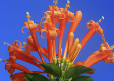 Honeysuckle flower. A beautiful honeysuckle flower with blue sky background stock image