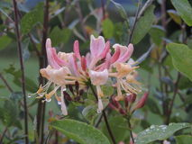 Honeysuckle Flower. This image is of a Honeysuckle flower taken after a shower of rain on a summers evening in County Donegal,Ireland stock photography