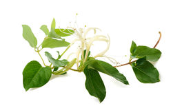 Honeysuckle Royalty Free Stock Image