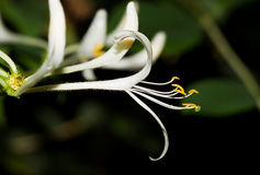 Honeysuckle Stock Images