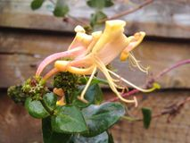 Honeysuckle Flower Macro Lizenzfreies Stockfoto