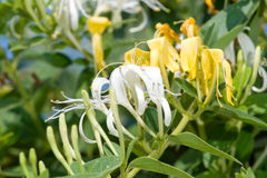 Honeysuckle flowers. In a garden Royalty Free Stock Images