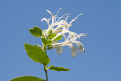 Honeysuckle flowers. Against intense blue sky royalty free stock image