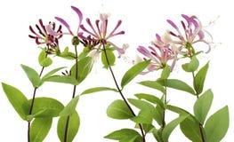 Honeysuckle flowers. Isolated on white decorative Honeysuckle flowers boder stock images