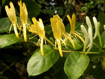 Honeysuckle flowers. Close up of yellow honeysuckle flowers on a vine Stock Images