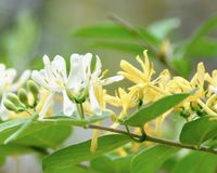 Honeysuckle Royalty Free Stock Images