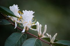 Honeysuckle flowers. Are blooming in spring stock images