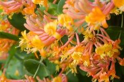 Honeysuckle flowers. Closeup to colorful honeysuckle flowers royalty free stock image