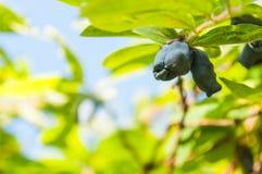 Honeysuckle. Fresh blue berries honeysuckle woodbine (lonicera) close up Stock Photo