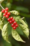 Honeysuckle fruits. Are ripe. Scientific Name: Lonicera maackii(Rupr.) Maxim royalty free stock photo