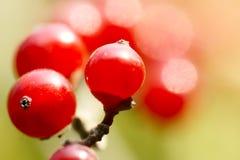 Honeysuckle fruits. The close-up of honeysuckle fruits. Scientific Name: Lonicera maackii(Rupr.) Maxim royalty free stock photo