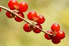 Honeysuckle fruits. The close-up of honeysuckle fruits. Scientific Name: Lonicera maackii(Rupr.) Maxim stock image