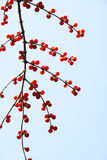 Honeysuckle fruits. In the autumn. Scientific Name: Lonicera maackii(Rupr.) Maxim stock photos