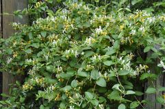 Honeysuckle (Gen; Lonicera) Stock Images