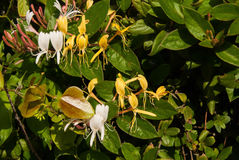 Honeysuckle Green-bladeren stock afbeeldingen
