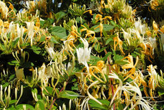 Honeysuckle. Hedge with white and yellow flowers royalty free stock photos