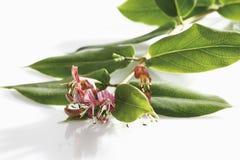 Honeysuckle (Lonicera) Royalty Free Stock Images