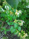 Honeysuckle. Lonicera maackii, honeysuckle, invasive, edible nectar royalty free stock photo