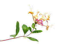 Honeysuckle (Lonicera periclymenum) Stock Photos