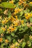 Honeysuckle. Lonicera periclymenum, common names honeysuckle, common honeysuckle, European honeysuckle or woodbine stock images