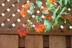 Honeysuckle Plant stock photo