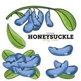 Honeysuckle Set, Vector. Stock Photo